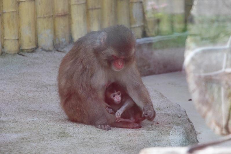 В Калининградском зоопарке у японских макак родился детёныш (фото) - Новости Калининграда | Фото: пресс-служба Калининградского зоопарка