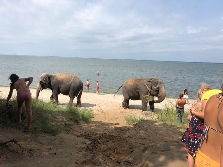 Слонов из цирка-шапито привезли купаться на карьер в Калининграде (фото, видео) - Новости Калининграда | Фото: Анна Бугайчук