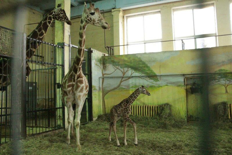 В Калининградском зоопарке родился жирафёнок (фото, видео) - Новости Калининграда | Фото: пресс-служба Калининградского зоопарка
